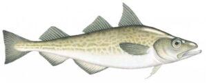 Abadejo Alaska seafood