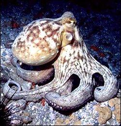 Pulpo de Alaska