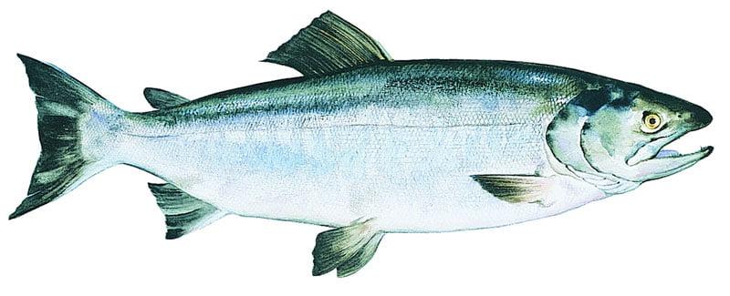 Salmón keta Alaska seafood