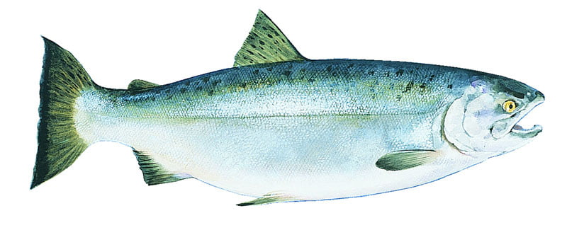 Salmón plateado Alaska seafood