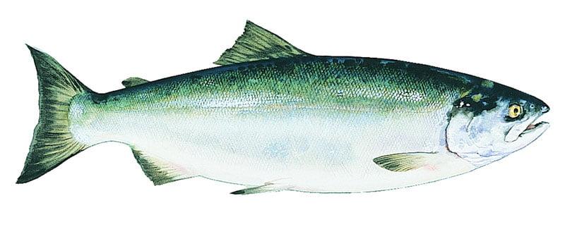 Salmón rojo Alaska seafood