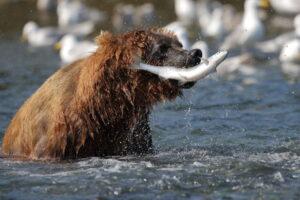 Oso cazando salmón alaska seafood