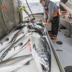 Salmon Alaska seafood