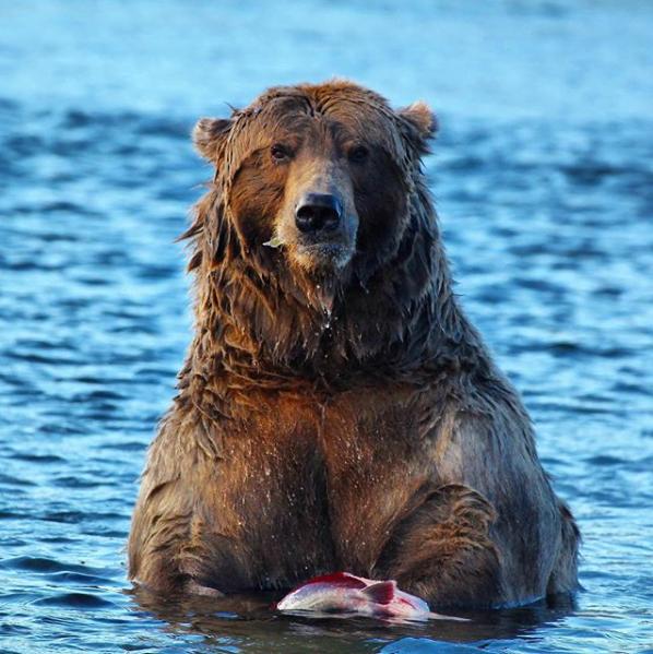 El oso de Alaska más gordo