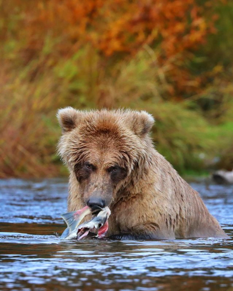¿Donde comprar salmón salvaje de Alaska?